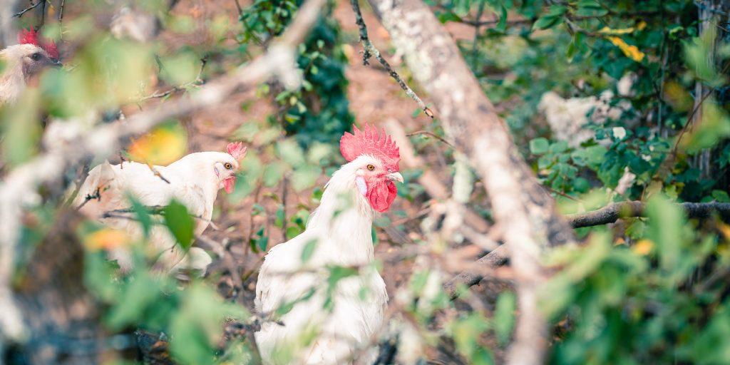 poule perdu dans les fourrés