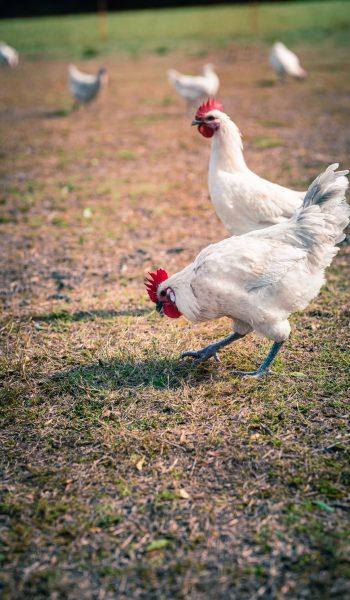 deux poules picorant